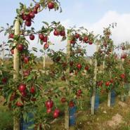 矮化m26美国八号苹果苗批发图片