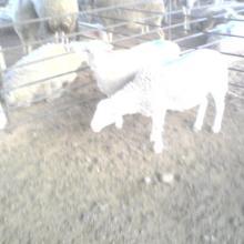 小尾寒羊供应批发