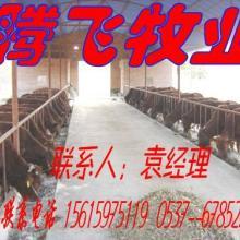 供应三元杂交牛