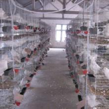 供应新疆种鸽肉鸽养殖场白羽王鸽,银王鸽,观赏鸽批发