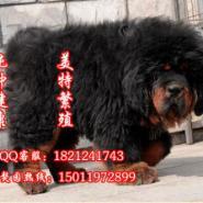 广州纯种大狮头藏獒多少钱图片