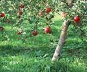供应苹果山西苹果价格基地直销