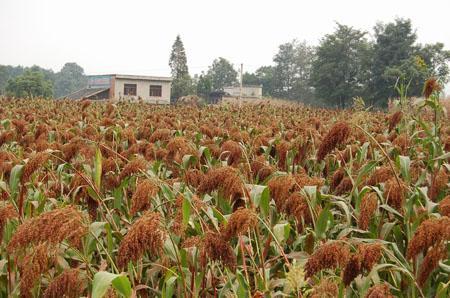 供应高粱红色素生产厂家,水溶高粱红色素生产厂家,食品高粱红色素