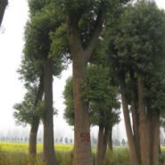 湖北栾树香樟苗木处理图片