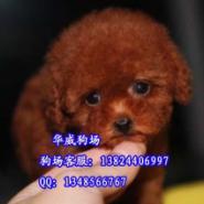 广州哪里有卖红色玩具贵宾泰迪图片