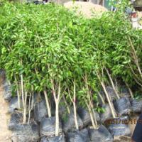供应垂叶榕,耐寒常绿植物,垂榕柱,花叶垂榕批发销售,福建绿苗园艺