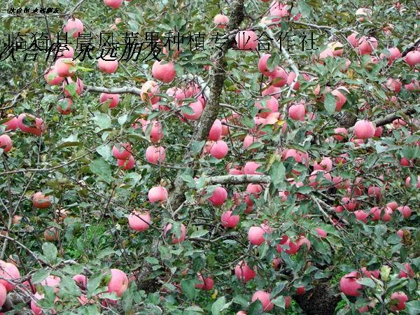 供应75以上膜袋红富士苹果