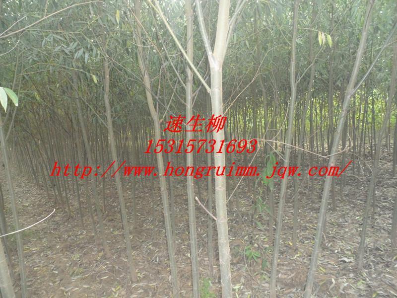 山东垂柳种植基地批发商