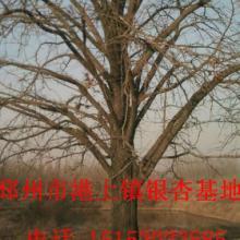 银杏树种类