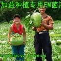 供应em菌种植西瓜作用好处发酵生物有机肥种植em菌种价格