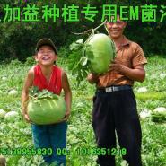 em菌种植西瓜作用好处发酵生物有图片