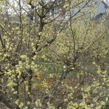 供应落叶灌木腊梅