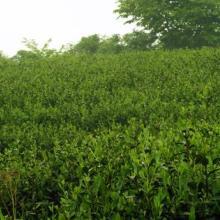 供应茶叶树价格