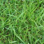 高羊毛草坪供应商图片