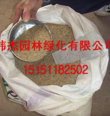 黑麦草图片/黑麦草样板图 (2)