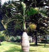 海南海口供应酒瓶椰子图片