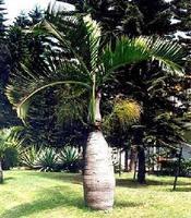 供应海南海口供应酒瓶椰子
