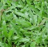 供应大叶油草多少元一平米包种包送