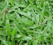 大叶油草多少元一平米包种包送图片