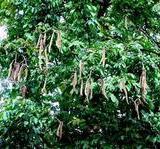 供应海南海口供应猫尾木
