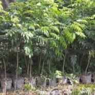 海南黃花梨种苗种子批发图片