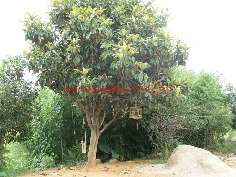 供应枇杷树供应价格,枇杷树行情,枇杷树销售