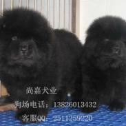 广州边度有卖松狮广州松狮好不好图片