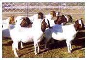 供应波尔山羊小尾寒羊肉羊