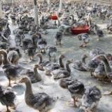 湖州朗德鹅养殖批发价格【湖州牧源禽类专业合作社】