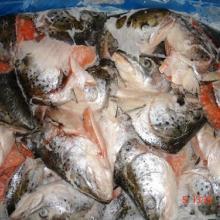 供应冷冻粗加工水产品-供应冷冻大西洋三文鱼批发