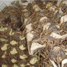 供应养殖蝎子山东蝎子养殖效益蝎子养殖厂家批发