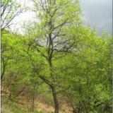 供应河南蒙古栎