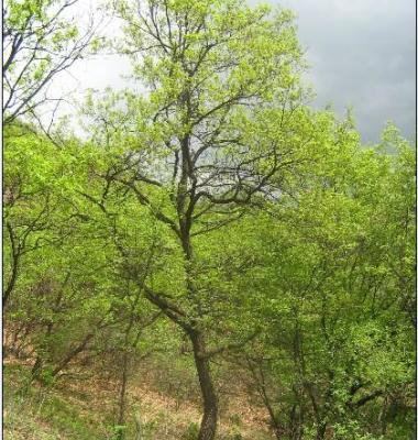 河南蒙古栎图片/河南蒙古栎样板图 (1)