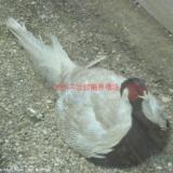 野鸡养殖技术 野山鸡批发 贵州野鸡价格 野鸡 野鸡专业养殖合作社 野鸡苗批发 哪里有卖野鸡苗