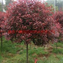 红叶石楠高杆球体苗