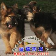 广州什么地方有出售纯种德国牧羊犬图片