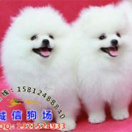 广州纯种博美犬哪里有卖图片