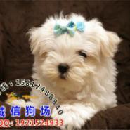 广州有没有正规狗场马尔济斯价格图片