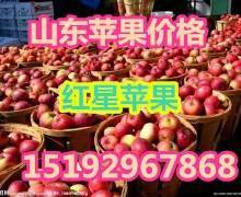 山东红星苹果价格图片