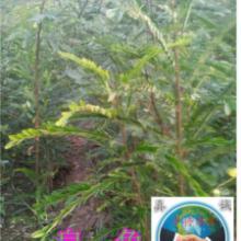 供应青垂.垂柳.皂角树.香花槐.皂角种子,欢迎考察批发