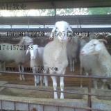 小尾寒羊波尔山羊圈养吃什么饲料