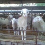 小尾寒羊波尔山羊圈养吃什么饲料图片