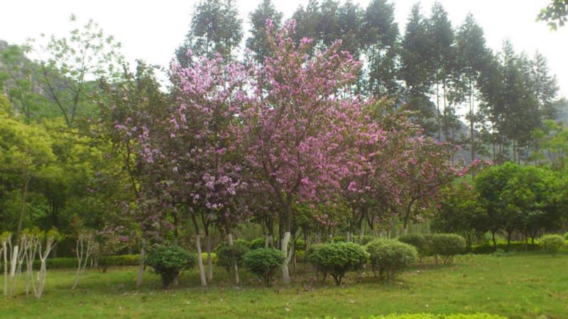供应钦州宫粉紫荆图片