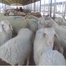 供应小尾寒羊供应,小尾寒羊供应价格,小尾寒羊供应电话批发