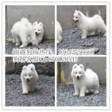 广州什么地方有卖狗广州哪里有卖纯种微笑萨摩耶犬镇越狗场正规狗场批发