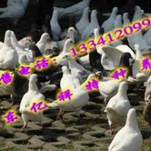 供应肉鸽价格肉鸽养殖技术批发