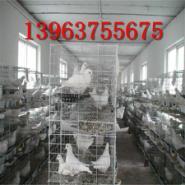 白羽王肉鸽一年能下几窝蛋图片