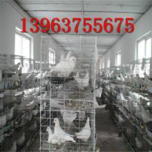 供应山东大型肉鸽养殖场,白羽王肉鸽多少钱一对?批发