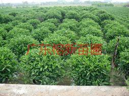 供应非洲茉莉球100100价格,非洲茉莉球8080价钱。