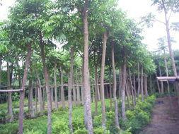 供应哪里有清货的仁面子树,榕新苗圃亏本清理仁面子10至15公分